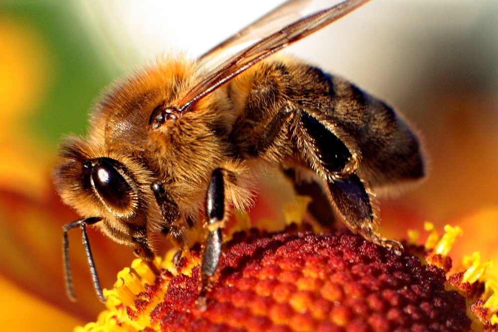 A bee. Credit: WIkimedia Commons