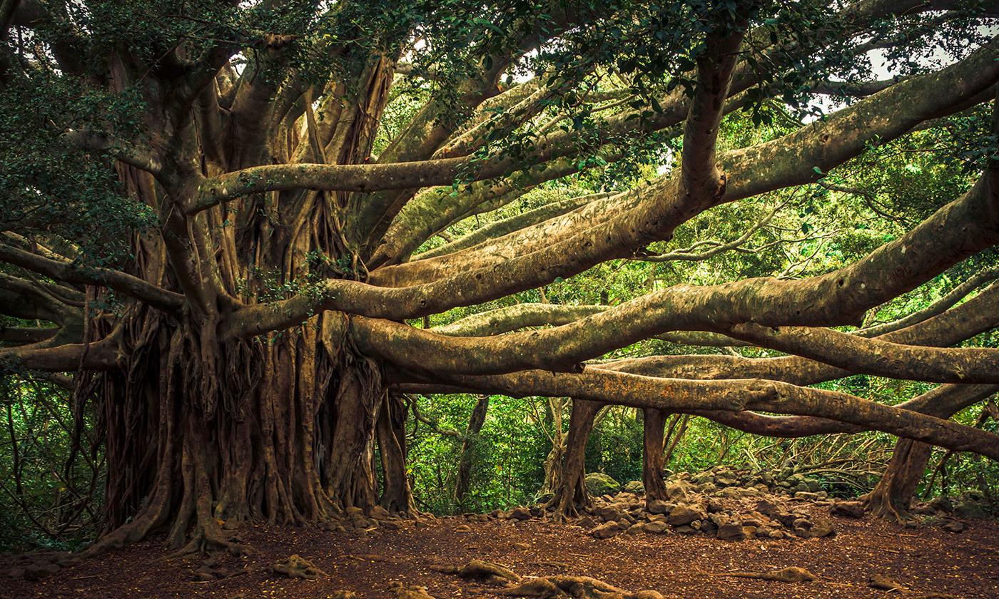 Cities and Canopies, banyan tree, Amazon rainforest, frangipani, gulmohar, peepal, Harini Nagendra, Seema Mundoli, Afzal park, Aarey forest, Mumbai, Palamau tiger reserve, Ruskin Bond,